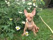 Chiot chihuahua disponible