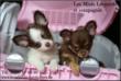 Chiots Chihuahuas disponibles