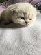 Magnifiques chatons British Shorthaire Point