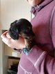 Chiot teckel nain poils longs noir et feu male