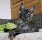 Adorable chaton femelle Maine Coon à réserver
