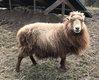 Brebis mouton de Ouessant