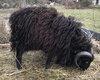Bélier mouton de Ouessant