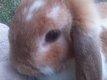 Donne lapine nain