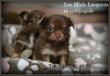 Chiots Chihuahua - Eleveur Familial