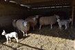 Agneaux / moutons