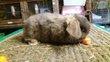 Plusieurs bb lapins nains et beliers nains satins