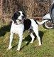 Spa Stembert: Tikkie x beagle 4,5 ans