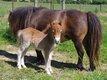 Elevage de mini poneys shetlands : poneys...