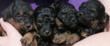 4 Femelles noir et feu a réserver avec pedigree
