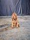 Exceptionelle femelle chien de Saint Hubert