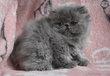 Très jolis chatons persans de diverses couleurs à...