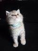 Adorables chatons british shorthair