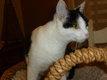 Masha, très belle chatte yin et yang de 2ans et...