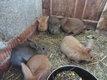 Jeunes lapins d'élevage
