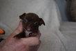 Bebes chihuahua mâle chocolat de petite taille