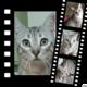 Joker, très beau chat mâle gris tigré de 2 ans...