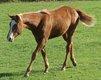 Superbe poulince paint horse sorrel