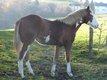 Superbe pouliche paint horse sorrel overo