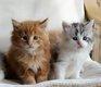 4 chatons Maine coon avec pédigrée à réserver