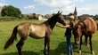 Ischia, Pouliche PRE isabelle sooty, 2 ans,...
