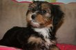 Chiots Terrier Tibetain