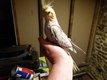 Jeune calopsite perruche apprivoisée