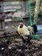 Coq hollandais noir à huppe blanche frisée