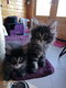Chatons brown blotched tabby et black silver