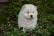 Chiots Chow Chow blanc