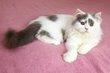 Un adorable British Longhair disponible