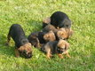 Chiots Border Terrier