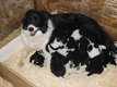 10 chiots border collie