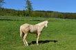 Quarter Horse et Paint Horse