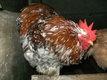 Oeufs frais fécondés de poules d'ornement