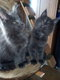 A réserver chatons Maine Coon