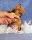 Magnifique petit chiot chihuahua