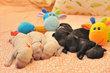 Chiots grand caniche noirs ou blancs Pédigrée...