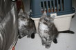 Chaton Maine Coon Black smoke et Black silver