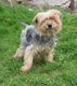Spa Verviers: Aldo yorkshire terrier 6 ans