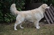 Golden retriever disponible pour saillie