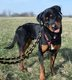 Spa Verviers: Patapouf Rottweiler 1,5 ans
