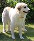Magnifique chien de race Montagne des Pyrénées