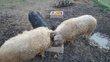 Cochon Mangalica Mangaliza