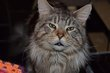 Maine coon adulte