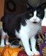 Titus, très beau chat mâle de 2 ans