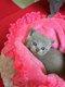 Adorables Chatons British shorthair Bleu et Lilac