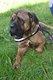 Spa Verviers: Padington cane corso 3,5 ans