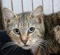Zelda - chatte tigrée - spa La Louviere