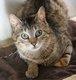 Fonzy - chat tigré - spa la louviere